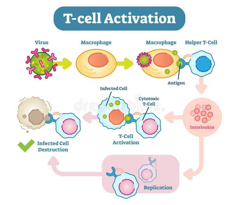 T-cell aktiveringsdiagram, vektorintrigillustration stock illustrationer