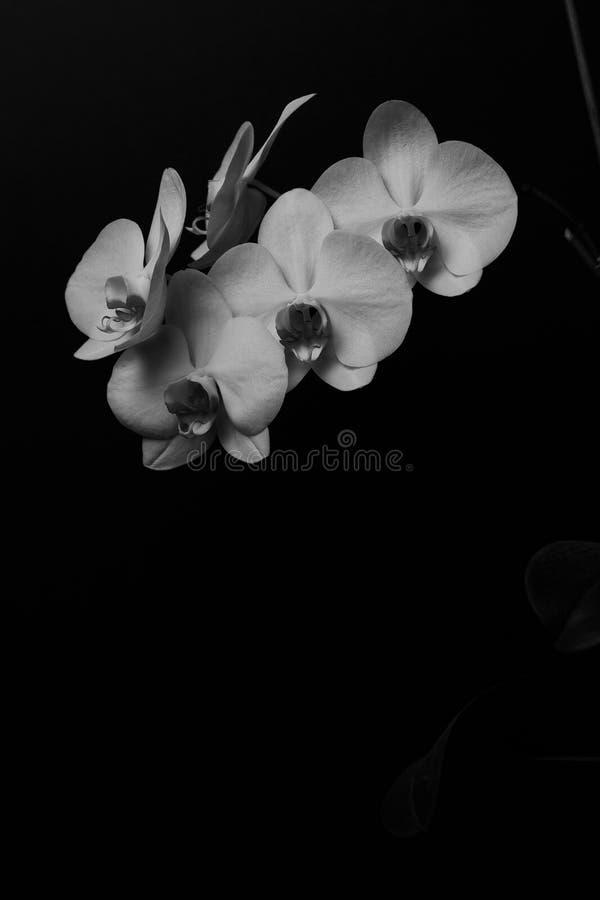 t?a czer? kwiatu storczykowy biel obrazy stock
