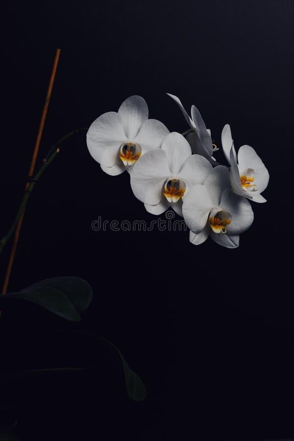 t?a czer? kwiatu storczykowy biel zdjęcia royalty free