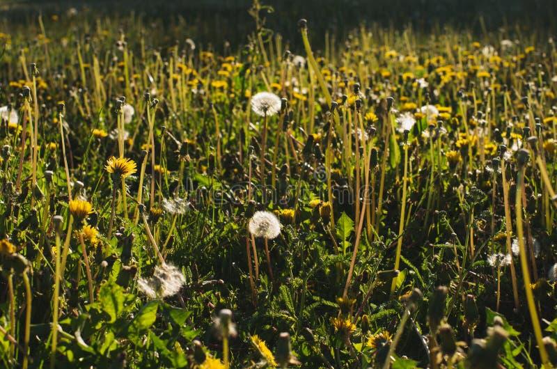 t?a dandelions biel kolor ? zdjęcie stock