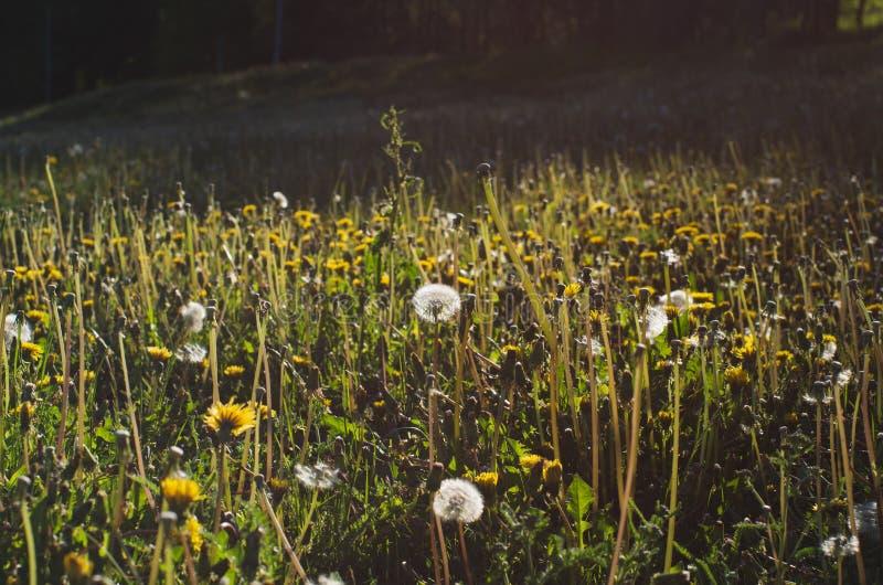 t?a dandelions biel kolor ? fotografia royalty free