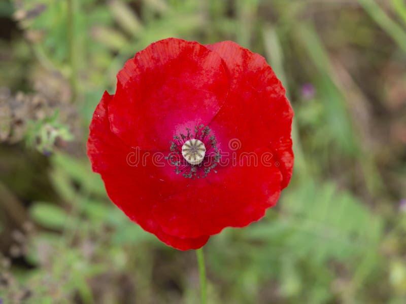 t?a du?y dekoracyjny kwiatu ogr?d odizolowywa? makowego biel obraz royalty free