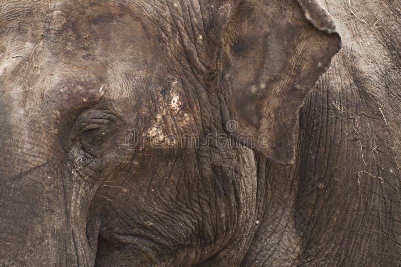 t?t elefant upp royaltyfria foton