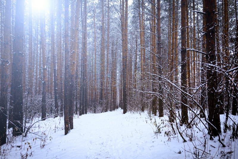 For?t ensoleill?e lumineuse de pin dans la neige L'hiver photos libres de droits
