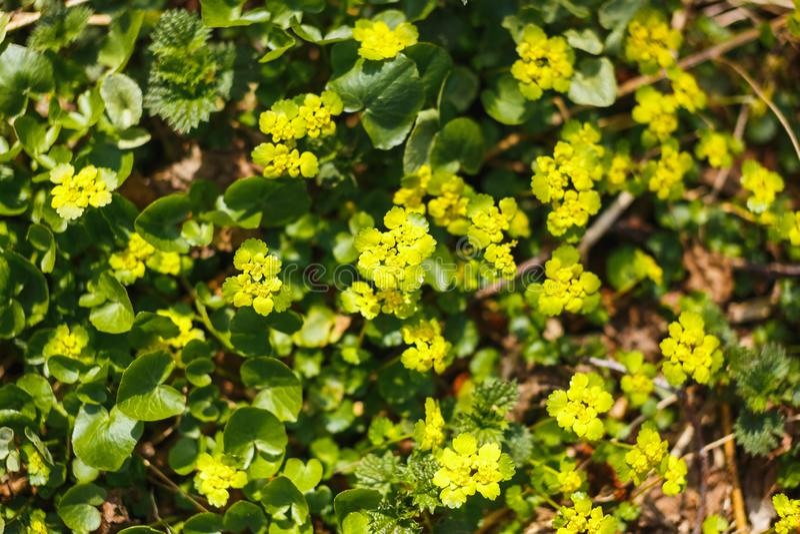 For?t jaune de fleurs de l'eau au printemps photos stock