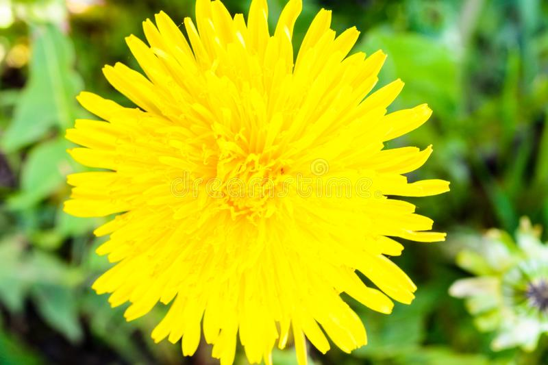 t?t maskros upp Maskrosväxt med en fluffig gul knopp Makrofoto av gult växa för blomma i jordningen _ royaltyfri fotografi