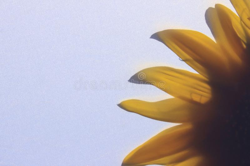 t?o abstrakcyjna natura Cropped strzał słonecznik Delikatny kwiecisty wzór z jasnożółtym słonecznikiem za tkaniną fotografia royalty free