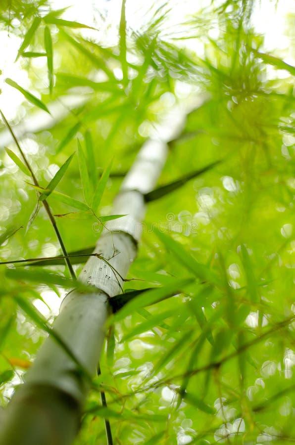 Download 10 Tło Bambusowy Eps Ilustraci Wektor Zdjęcie Stock - Obraz złożonej z kolor, drzewo: 41950890