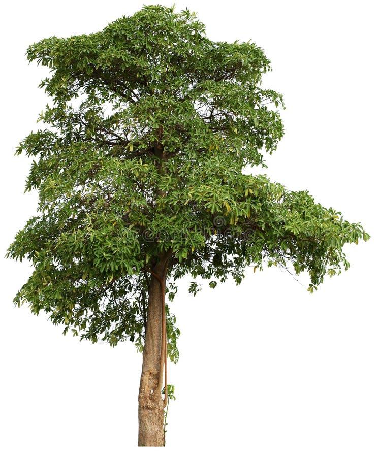 t?o ilustracyjnego pojedynczy obrazu drzewny white wektor fotografia royalty free