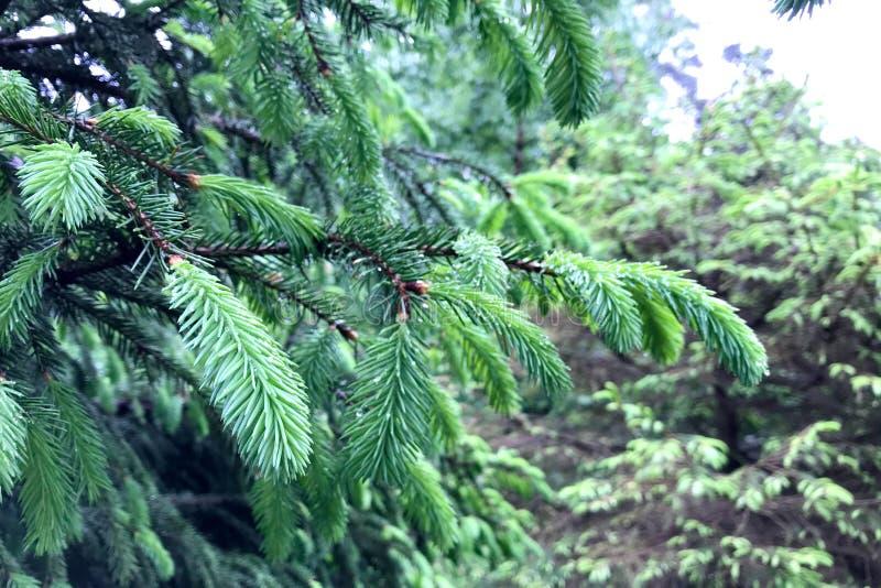 T?o jedlinowi drzewa z potomstwo zieleni? strzela w raindrops zdjęcie royalty free