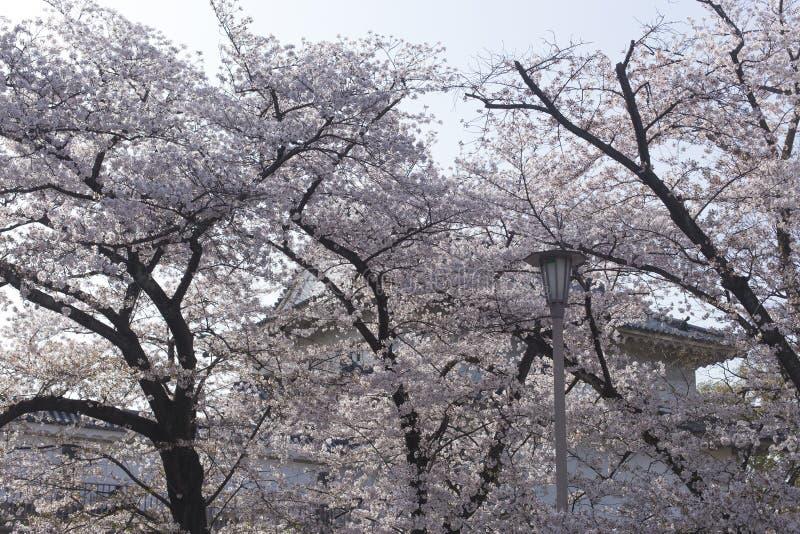 T?o, latarnia uliczna i czere?niowi okwitni?cia w Osaka, Roszujemy w Japonia fotografia stock