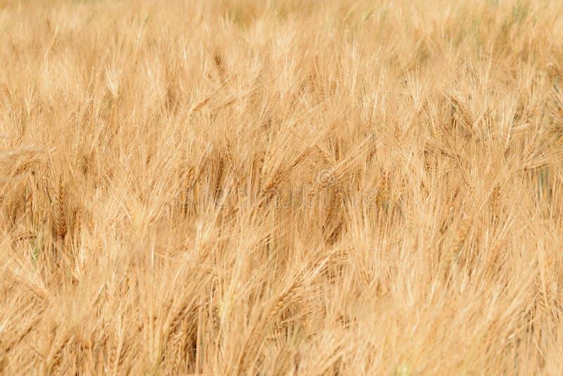 T?o pszeniczny pole zdjęcia stock