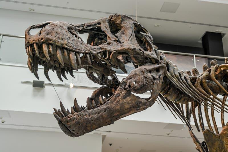 T Rex skeleton. Tyrannosaurus Rex skeleton at the Museum of Natural History, Svilajnac, Serbia royalty free stock photo