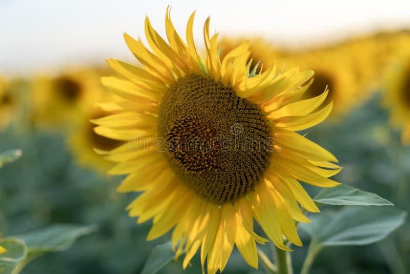 t?t solros upp F?lt av blommande solrosor p? en bakgrundssolnedg?ng Varmt aftonpanelljus Den bästa sikten av royaltyfri fotografi
