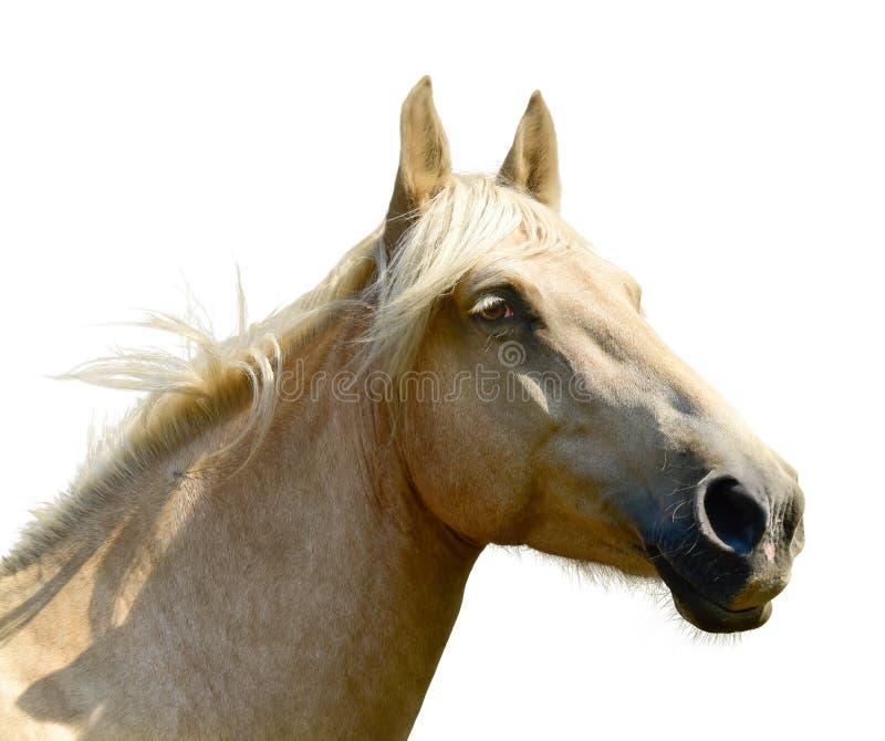 T?te de cheval blanc d'isolement sur le fond blanc Un portrait de plan rapproch? du visage d'un cheval photographie stock