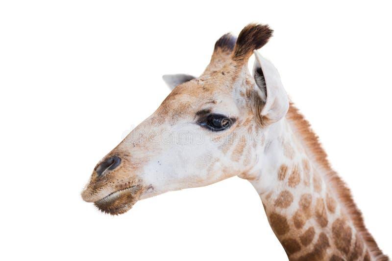 T?te de giraffe d'isolement sur le blanc image stock
