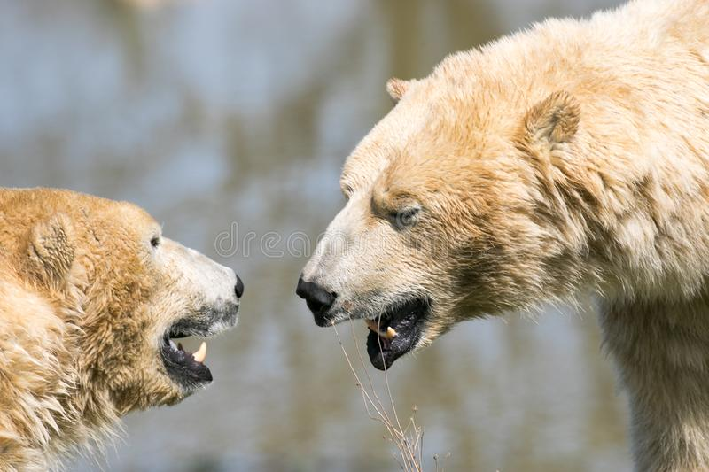 T?tes d'ours blancs images stock