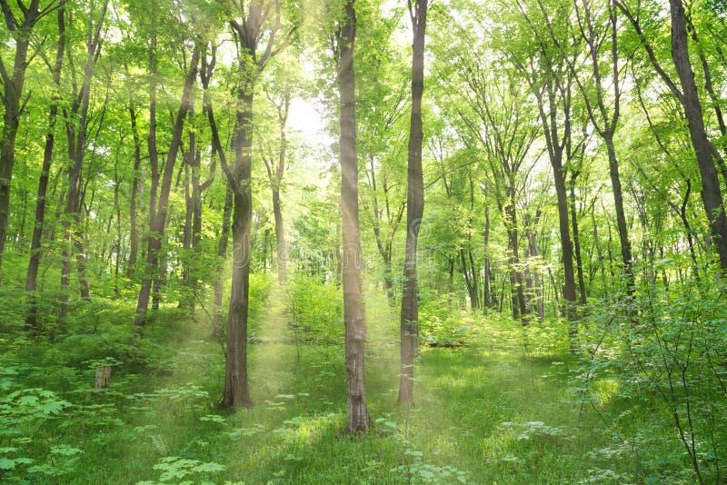 For?t verte avec des arbres image stock