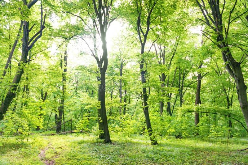 For?t verte avec des arbres photo libre de droits