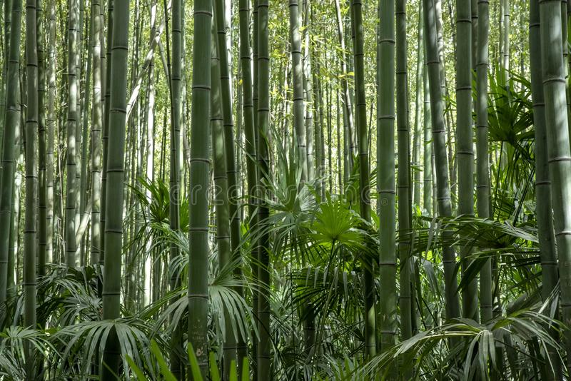For?t verte en bambou images stock