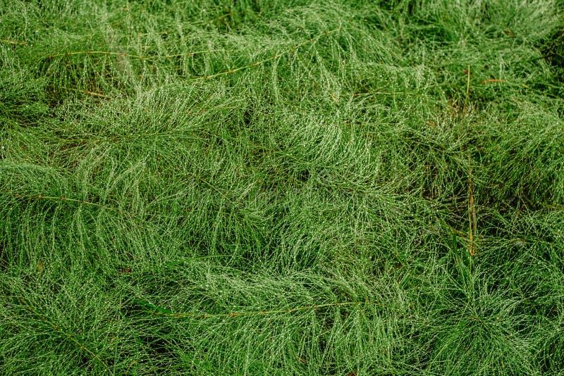 T?a zielony lasowy horsetail Abstrakcjonistyczny t?o, kopii przestrze? obrazy royalty free