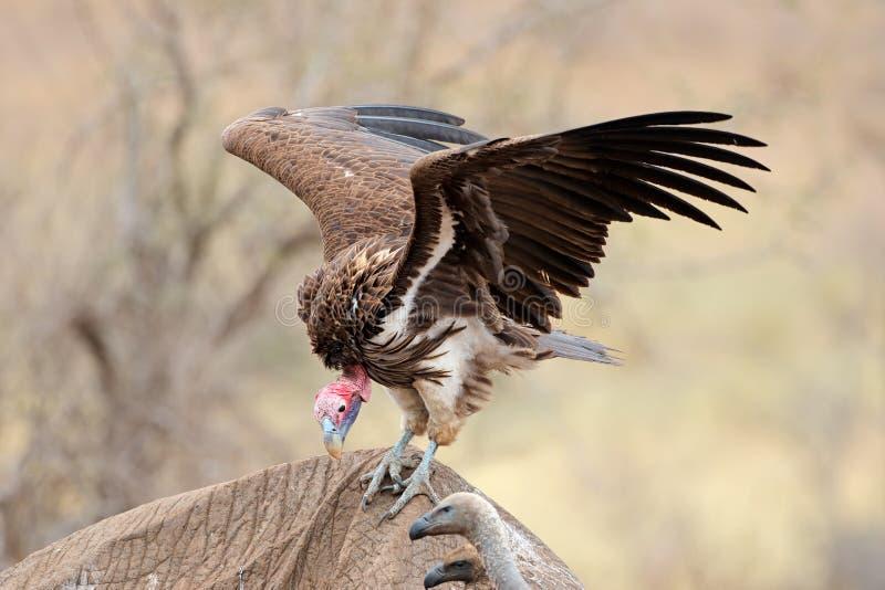 ?ta as denv?nde mot gammet - Kruger nationalpark royaltyfri fotografi