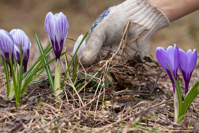Ta bort gammalt gräs från blomsterrabatten royaltyfri bild