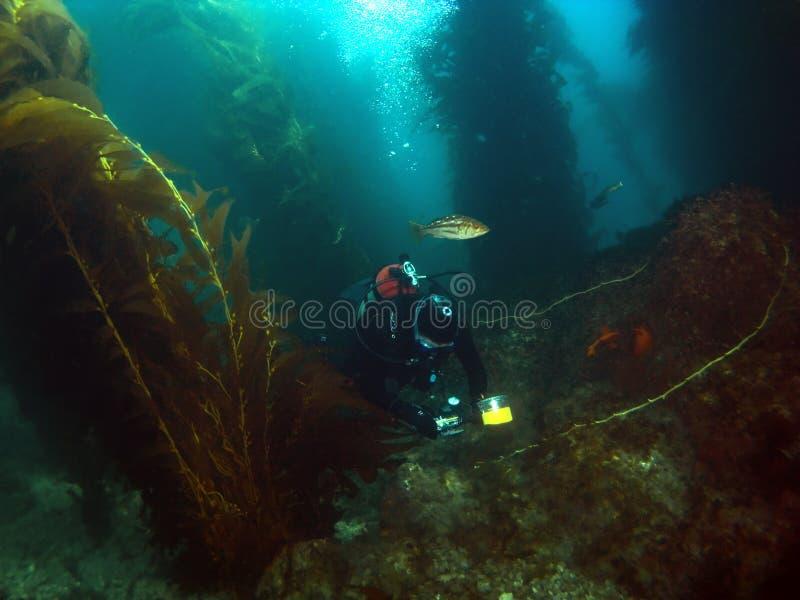 ta för dykarekelpbilder arkivbild