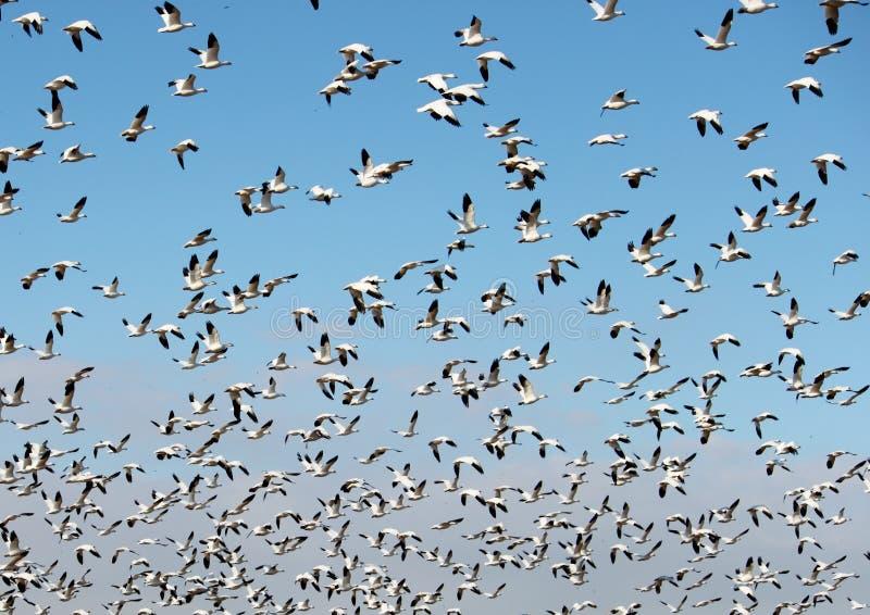 ta för snow för flygflockgäss arkivbild