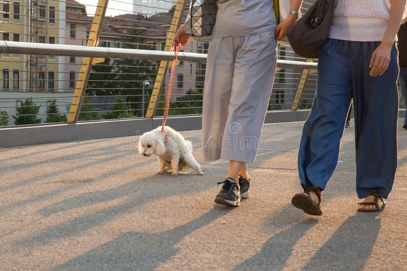 Ta hunden för att kissa - pudeln kissar på en stads- bro royaltyfria foton
