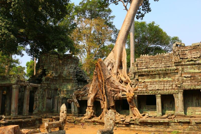 Ta Prohm寺庙在吴哥窟,在寺庙废墟的树, Cambodi 免版税库存照片