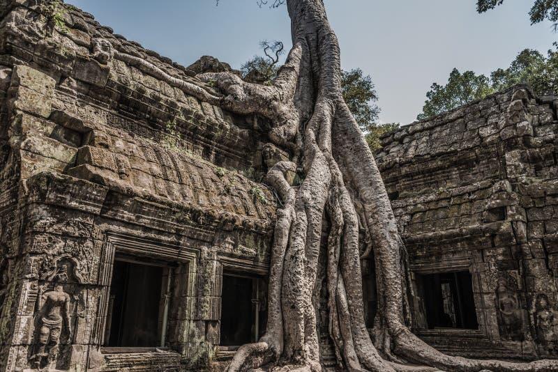 Ta Prohm寺庙,树的古典图片根源生长在ru 免版税库存照片