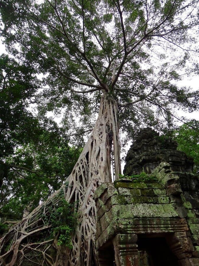 Ta Prohm - świątynia w Angkor, Siem Przeprowadza żniwa podczas słonecznego dnia, Camboja entral park zdjęcia stock