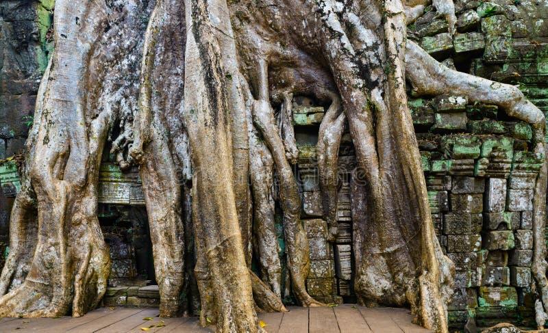 Ta Prohm dżungli sławny drzewo zakorzenia obejmować Angkor świątynie, zemsta natura przeciw ludzkim budynkom, podróży miejsce prz fotografia stock