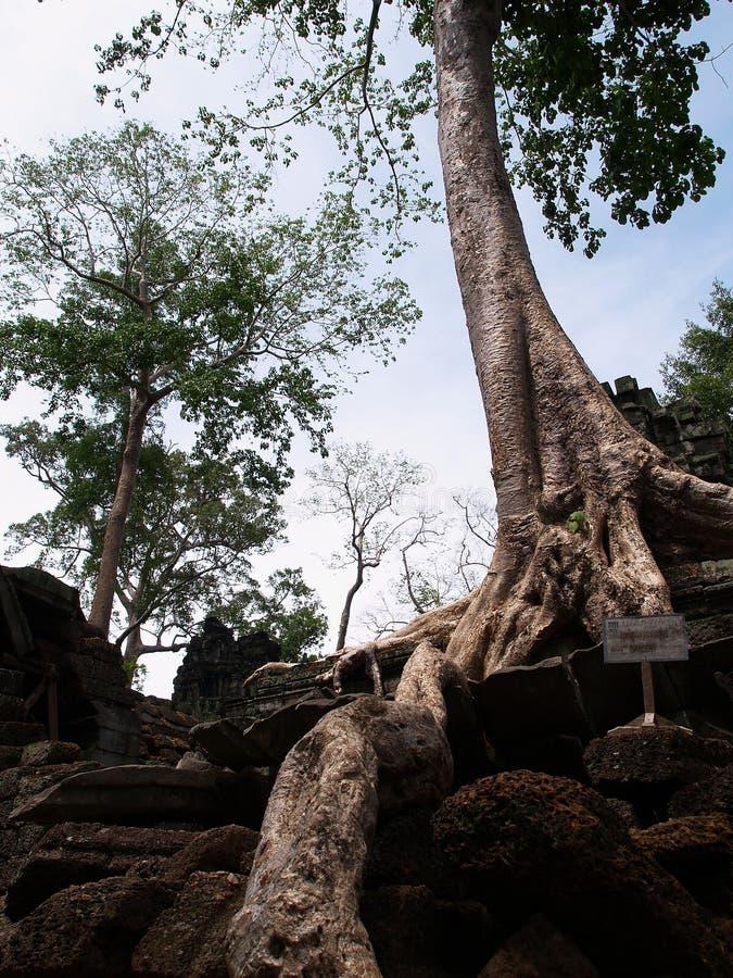 Ta Prohm, Siem récoltent photo stock