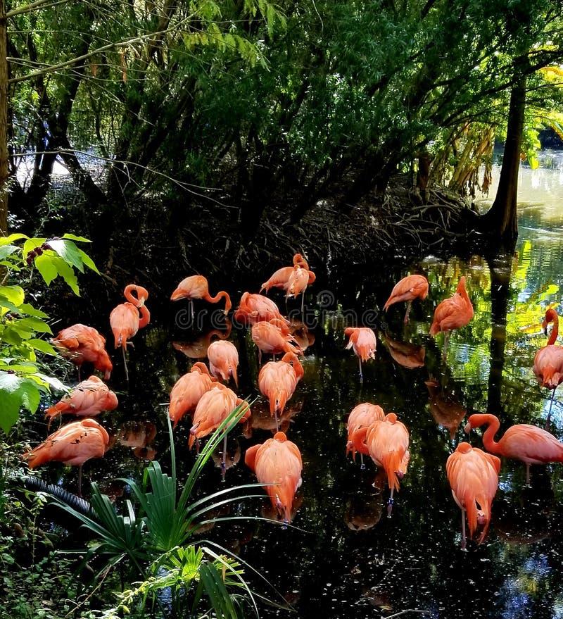 Ta sig en tupplur för flamingo arkivfoton