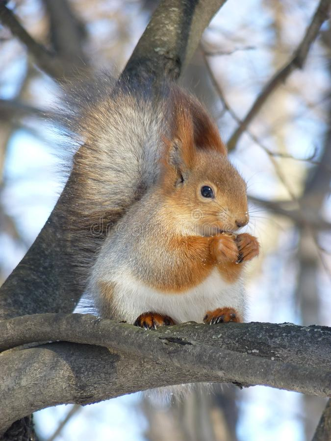 A squirrel on the branch of the tree in winter stock photos