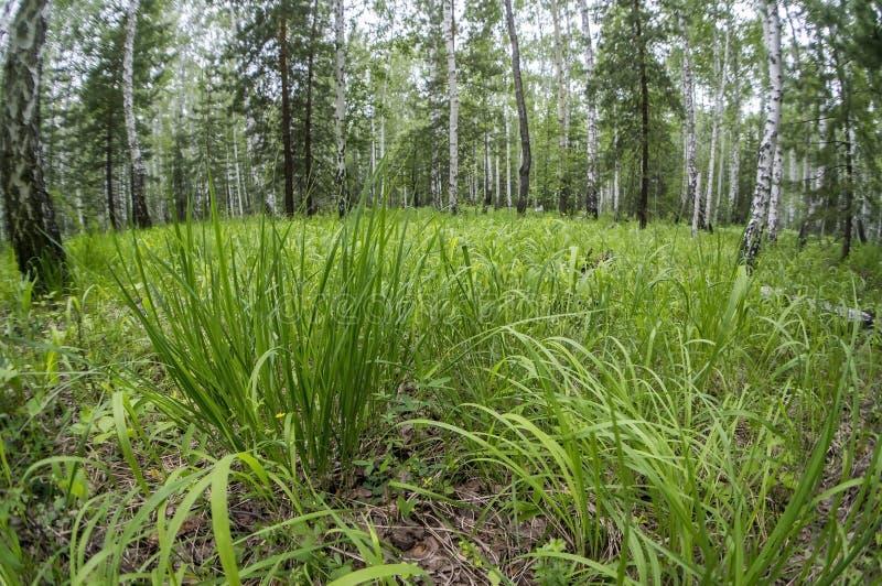 Taai groen gras met snijkanten in bos royalty-vrije stock fotografie