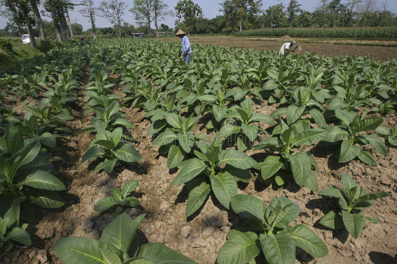 Download Tabac photo stock éditorial. Image du fermiers, agriculture - 76078773