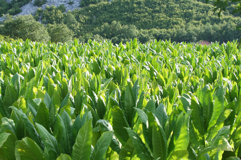 Download Tabacco field stock image. Image of nicotine, green, negro - 6036231