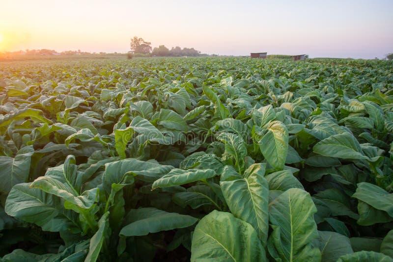 [Tabacco Thailandia] Vista di una giovane pianta verde di tabacco da campo a Nongkhai, Thailandia fotografie stock libere da diritti