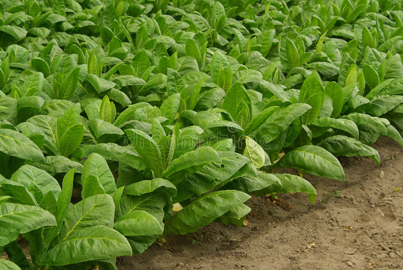 Tabaco cultivado 07 fotografía de archivo libre de regalías