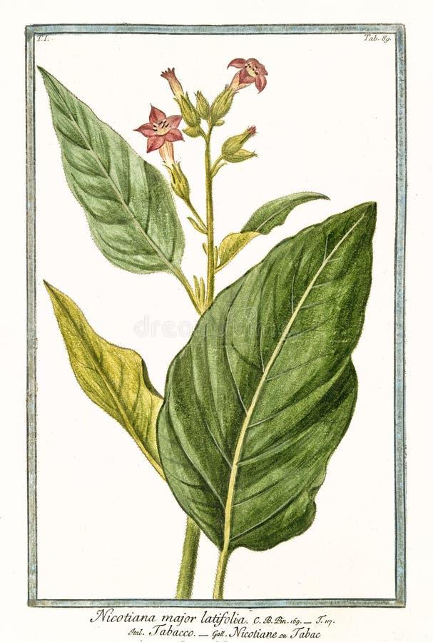 Tabacum importante de la nicociana de la nicociana foto de archivo libre de regalías