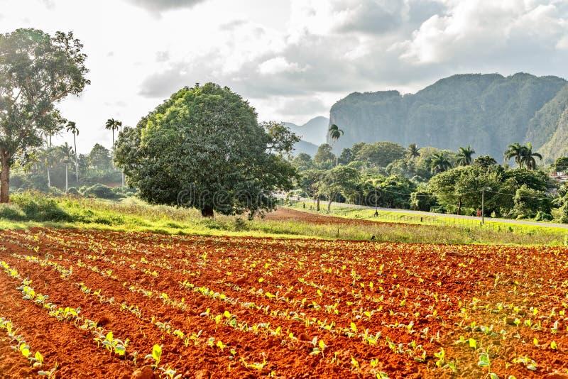 Tabaczna plantacja z małymi roślinami i Vinales doliną w zdjęcie royalty free