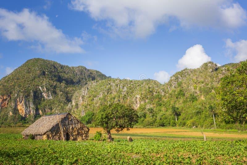 Tabaczny pole w Vinales parku narodowym, UNESCO, pinar del rio prowincja, Kuba zdjęcie stock