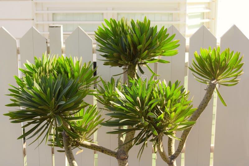Tabaiba, uma planta da família do eufórbio fotos de stock
