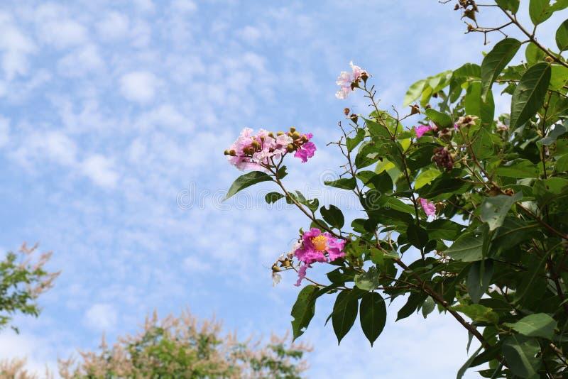 Tabak bloeit Thaise floribundabloem van woordlagerstroemia, Lythraceae brossom op boom, Purpere Orchideeboom en blauwe hemel als  royalty-vrije stock foto's
