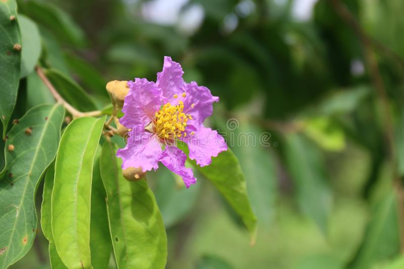 Tabak flowers thai word white, pink, purple blossom tabaek on tree nature background green fresh royalty free stock photos