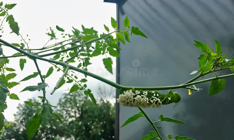 Tabak hornworm, Manduca-sexta, vaak met tomaat wordt verward hornworm, behandeld in parasitische wespeieren dat royalty-vrije stock foto