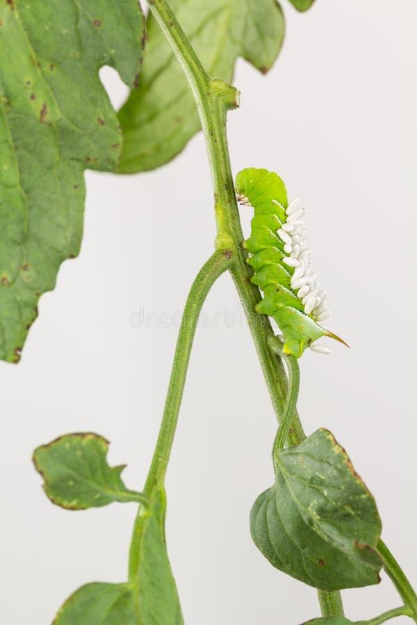 Tabak hornworm met parasietwesp coccons stock afbeelding